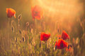 Poppies red wild closeup in sunshine flare Royalty Free Stock Image