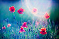 Poppies red wild closeup in sunshine flare Stock Images