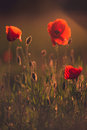 Poppies red wild field in soft back light Stock Photos