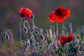Poppies red wild field in soft back light Stock Photo