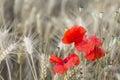 Poppies in rye field red poppy flowers a golden the eifel germany Royalty Free Stock Image