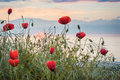 Poppies on the sea shore at sunrise Royalty Free Stock Photo