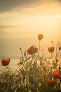 Poppies on the sea shore at sunrise. Vintage style. Royalty Free Stock Photo