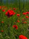 Poppies. Shallow dof. Stock Photo