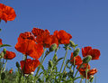 Poppies and Sky Stock Image
