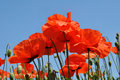 Poppies on sky background Stock Photography