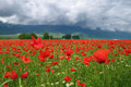 Poppies during spring amazing field with captured dramatic background with beautiful cloudy sky Royalty Free Stock Images