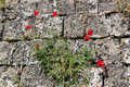 Poppies in a stone wall rhodes Stock Images