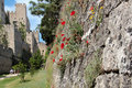 Poppies in a stone wall rhodes Stock Photography
