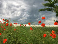 Poppies in a storm Royalty Free Stock Photo