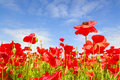 Poppies in summer Royalty Free Stock Photo