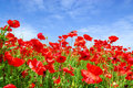 Poppies in summer Royalty Free Stock Images