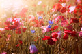 Poppies in sunshine Royalty Free Stock Photography