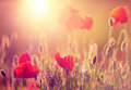 Poppies at sunshine red wild closeup in flare Stock Images