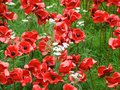Poppies tower of london Royalty Free Stock Images