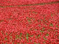 Poppies tower of london Royalty Free Stock Photography