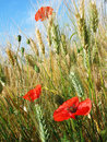 Poppies in a wheat field Royalty Free Stock Photos