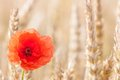 Poppies in wheat field lone poppy flower Royalty Free Stock Photography