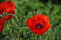 Poppies whit bee Royalty Free Stock Photo