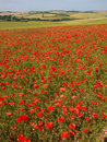 Poppies wild in sussex field england Royalty Free Stock Image