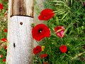 Poppies and wood still life consisting of a field of poppy in a landscapewith Royalty Free Stock Images