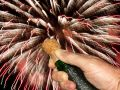 Popping the champagne cork Royalty Free Stock Photo