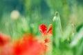 Poppy abstract Royalty Free Stock Photo