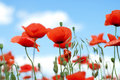 Poppy against blue sky Stock Photography