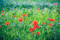 Poppy and blue centaury flowers field in summer. Royalty Free Stock Photo