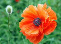 Poppy and bud close up of a beautiful orange beside a single growing wild in the field Royalty Free Stock Image
