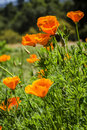 The poppy california golden topanga canyon california spring Royalty Free Stock Photography