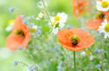 Poppy and chamomile Royalty Free Stock Photo