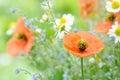 Poppy and chamomile Royalty Free Stock Photo
