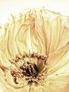 Poppy Close-up (146)