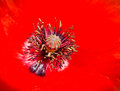 Poppy core Royalty Free Stock Photo