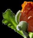 Poppy detail of a flower in black back Stock Image