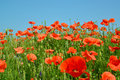 Poppy field against the blue sky Royalty Free Stock Photo