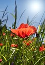 Poppy field background Royalty Free Stock Photo