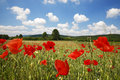 Poppy field with beautiful clouds Royalty Free Stock Photography