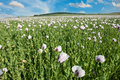 Poppy field beautiful vivid landscape with a of white blooming Stock Photos