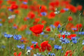 Poppy field blooming in summer Royalty Free Stock Photo