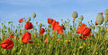 Poppy field with blue sky Royalty Free Stock Photos