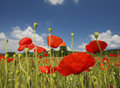 Poppy field blue sky and clouds Royalty Free Stock Photo