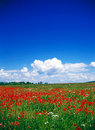 Poppy field with blue sky and clouds Royalty Free Stock Images