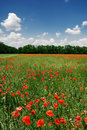 A poppy field in bright sunny day Stock Image