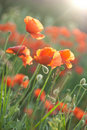 Poppy field in Crimea Royalty Free Stock Photo
