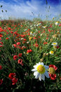 Poppy field and daisy Royalty Free Stock Photo
