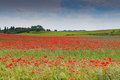Poppy field a landscape of the Royalty Free Stock Photography