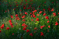 Poppy field landscape in countryside Royalty Free Stock Image