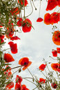 Poppy field from low angle view a in tuscany looking up to the sky Royalty Free Stock Photos